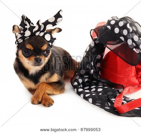 Cute chihuahua puppy in color dots kerchief near female  bag isolated on white