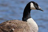 pic of canada goose  - A Canada Goose  - JPG