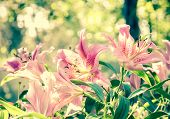 picture of lilly  - Sweet pink lilly flower in vintage background with bokeh - JPG