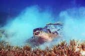stock photo of turtle shell  - Sea turtle, accompanied by two remoras stuck in its shell ** Note: Visible grain at 100%, best at smaller sizes - JPG