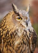picture of owl eyes  - Owl with yellow eyes and warm tone background in Spain - JPG