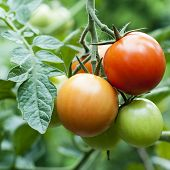 stock photo of vines  - Ripe red and unripe green tomatoes on a vine on plant - JPG