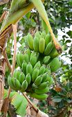 picture of banana tree  - Bunch of bananas on tree in Mekong Delta Vietnam - JPG