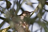 picture of hummingbirds  - A female Anna