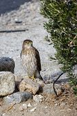 picture of hawk  - Red tailed hawk on the ground looking for lunch in the California desert - JPG