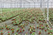 picture of cultivation  - Dutch Greenhouse with cultivation of colorful flower Buttercups - JPG