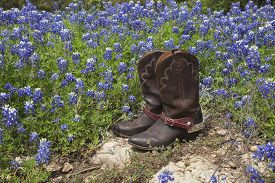 image of bluebonnets  - A brown leather pair of cowboy boots with spurs sits on rock in a field of Texas bluebonnets - JPG