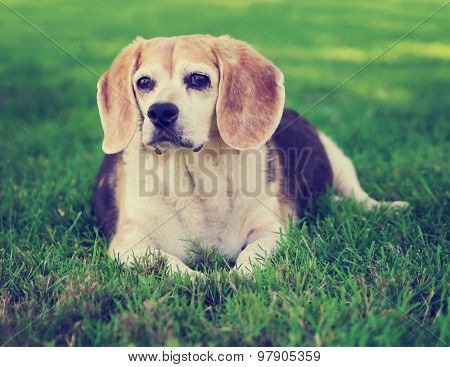 a cute senior beagle looking off in the distance in a park or backyard on fresh green lawn toned with a retro vintage instagram filter effect app or action