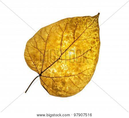 Isolated Dry Tilia Leaf