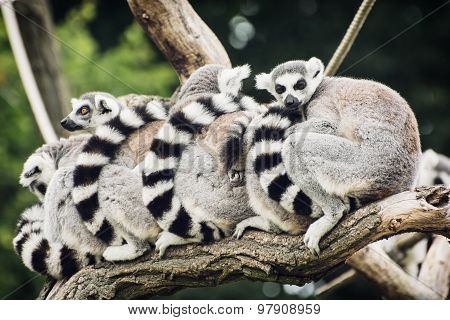 Group Of Lemurs