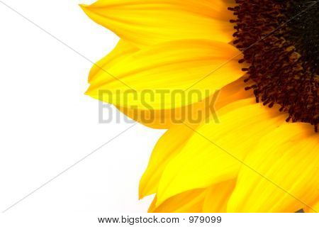 Sunflower Crop