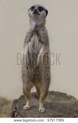 Cute Meercat Facing Forwards Against A Plain Background