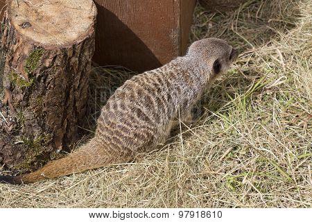 Cute Meercat