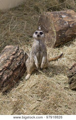 Cute Meercat Sitting Down