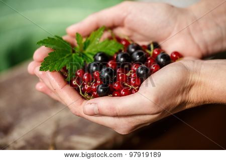 Currant picking