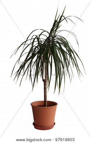 House palm (Dracaena marginata)