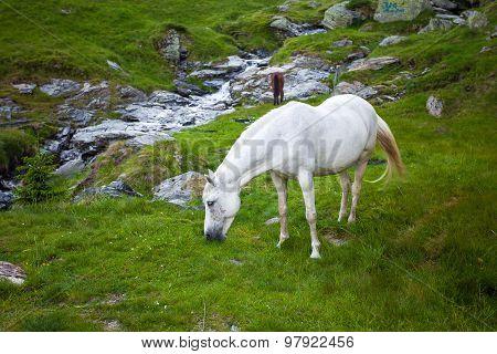 Wild White Horse Feeding On Fagaras Mountain, Romania