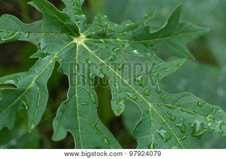 Dewdrop On Papaya Leaf