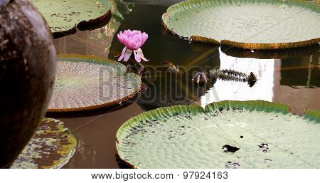 Beautiful Victoria Flower