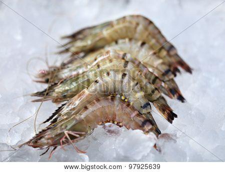 Shrimp Lying