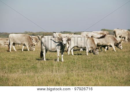 Hungarian Gray Cattle Cows With Calves Grazing On Pasture Summertime