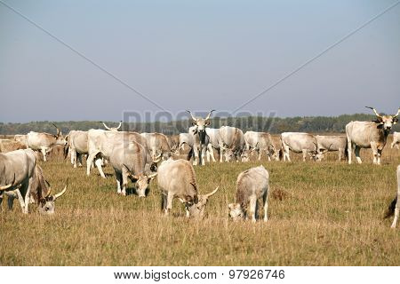 Herd Of  Hungarian Grey Steppe Cattle Grazing On Meadow