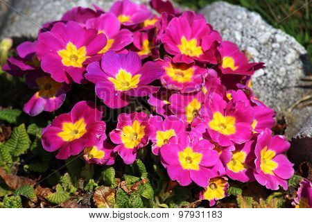 Pink And Yellow Primulas