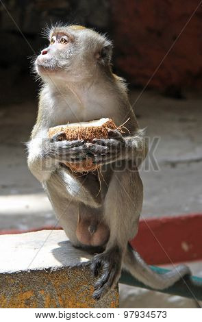monkey with coconut, Batu caves