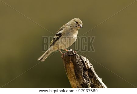 Chaffinch Fringilla coelebs perched on a branch
