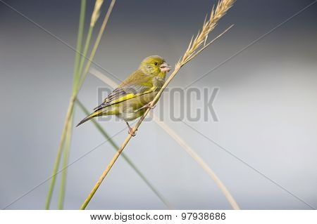 Greenfinch Carduelis chloris perched on a reed