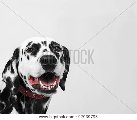 Portrait Of A Dalmatian Dog Laughing