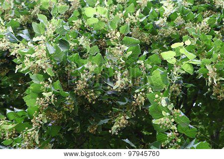 Lime-tree Blossom