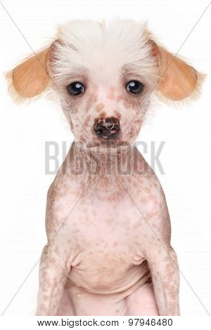 Close-up Of Chinese Crested Dog Puppy