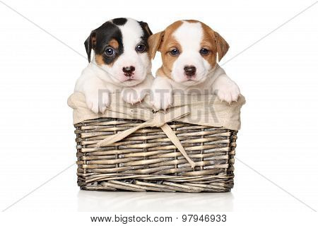 Jack Russell Puppy In Basket
