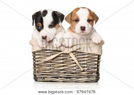 Jack Russell Puppies In Wicker Basket