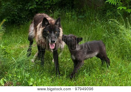 Grey Wolf Pup (canis Lupus) Begs For Food From Older Sibling
