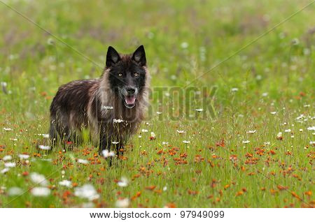 Black Phase Grey Wolf (canis Lupus) Stands In Field