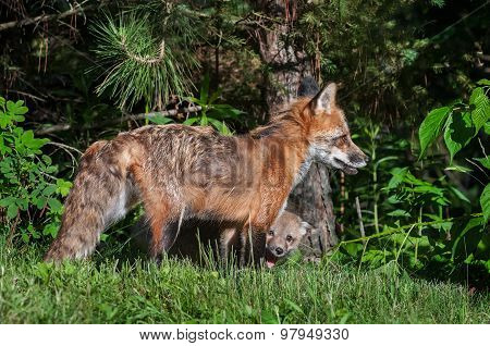 Red Fox Vixen (vulpes Vulpes) With Kit Peeking Out