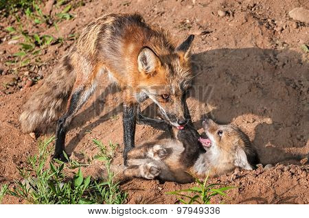 Red Fox Vixen (vulpes Vulpes) Holds Down Misbehaving Kit