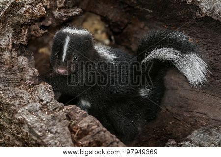 Baby Striped Skunk (mephitis Mephitis) In Log