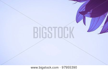 isolated purple sunflower petals with blank area on purple background