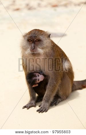 Macaque Mother And Child At Monkey Beach, Thailand