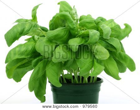 Fresh Green Herbs, Isolated Over White