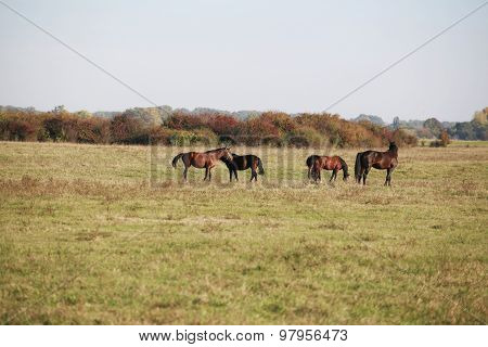 Wild Horses Grazing In A Natural Environment In The Meadows