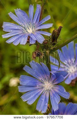 Flower chicory