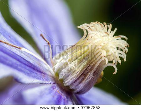 Closeup shot of violet clematis flower