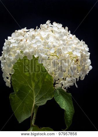 White Hydrangea Arborescens Annabelle flower on black background