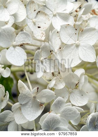 Closeup of white Hydrangea Arborescens Annabelle flower