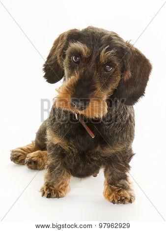 Wirehaired Dachshund Dog