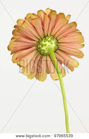 Underside Of Zinnia Flower